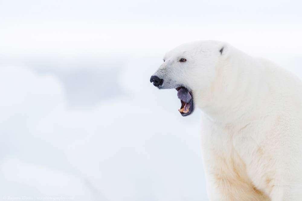 polar bear tour spitsbergen