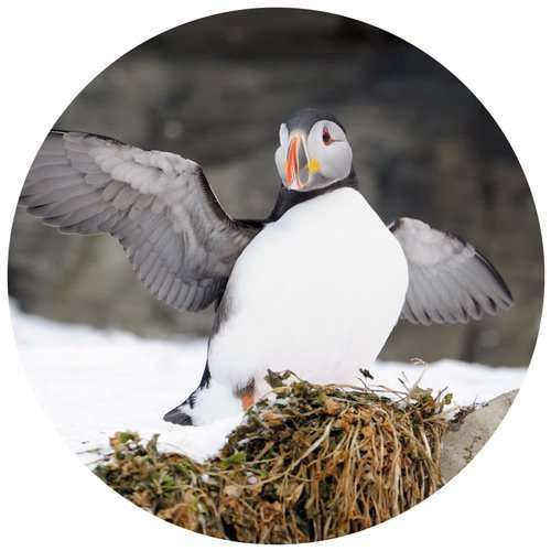 puffins in svalbard in norway