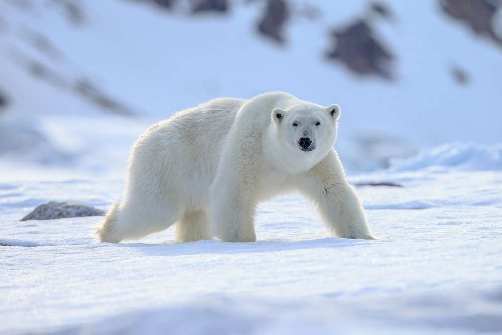 polar bear photo tour in svalbard