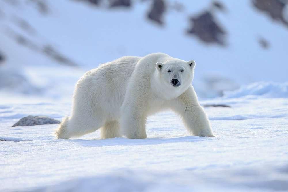 polar bear photo tour in svalbard