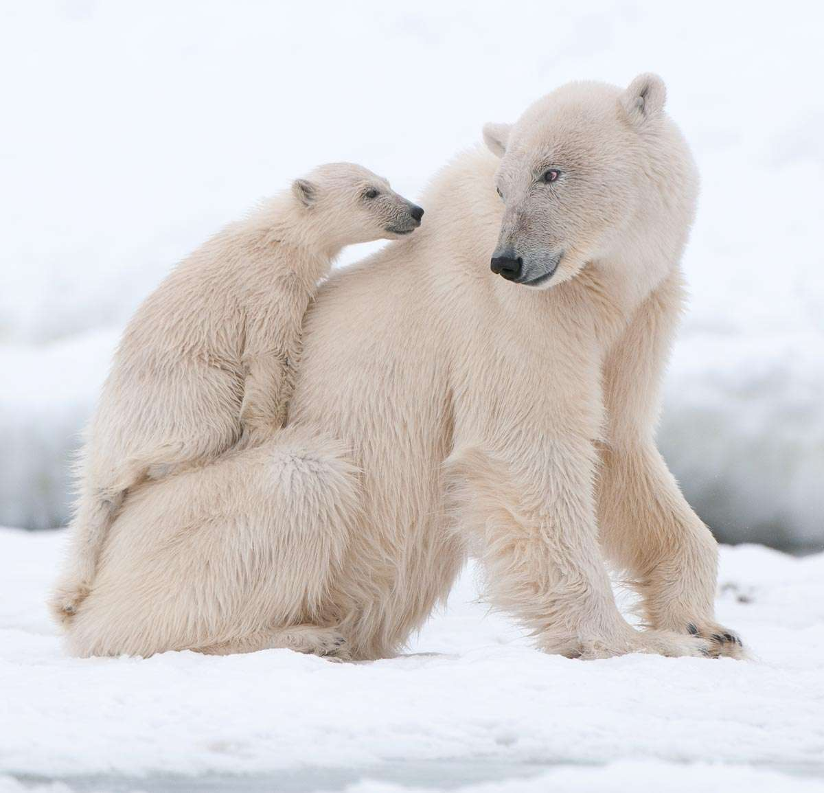 polar bear photography tour in svalbard