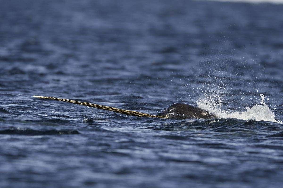 svalbard wildlife tour narwhal