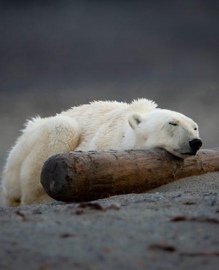 polar-bear-in-svalbard