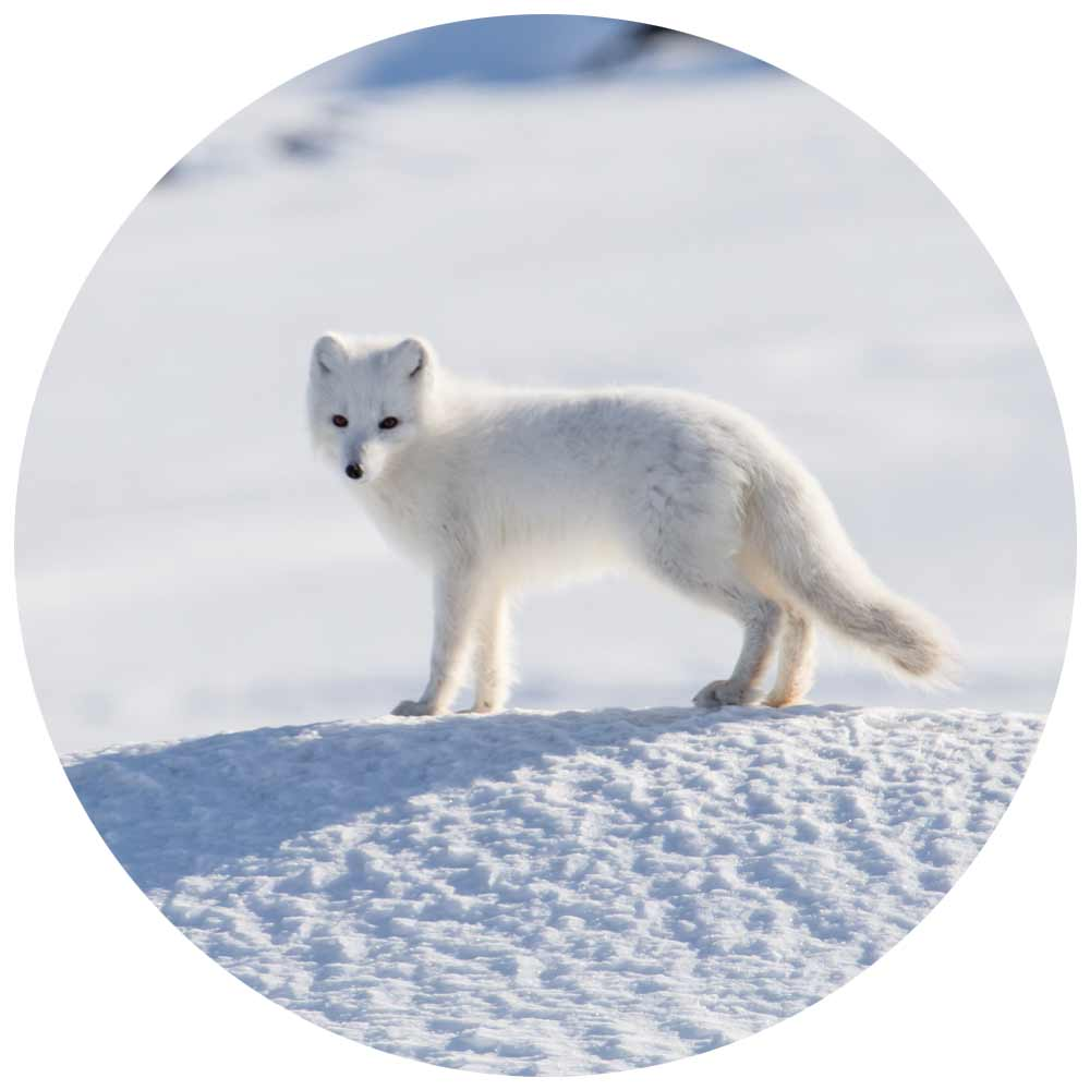 greenland wildlife arctic fox
