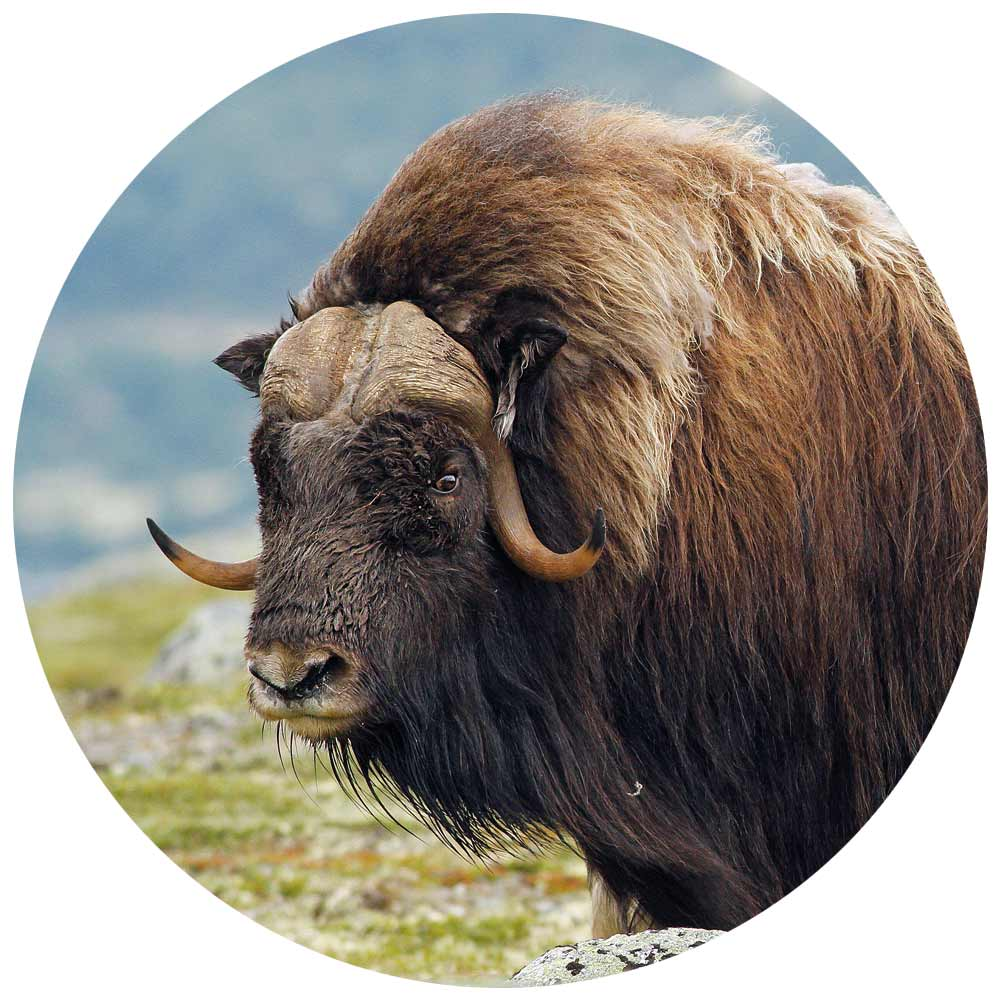 musk ox in Greenland